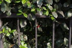 红色浆果 库存照片