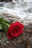 红色浪漫上升了 库存图片