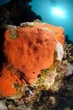 红色海绵含毒物 免版税库存图片
