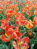 红色混合染黄郁金香开花,美妙地开花在庭院里 免版税库存照片