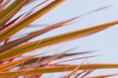 红色渐近的龙血树属植物Marginata叶子紧密  免版税库存照片