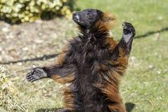 红色温暖与开放胳膊的ruffed狐猴 库存图片
