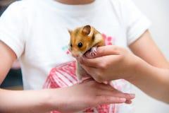 红色温驯的仓鼠在儿童的手上 库存照片