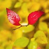红色湿叶子 免版税库存照片