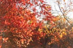 红色灌木和树叶子在美好的秋天停放 库存照片