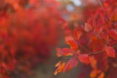红色灌木和树叶子在美好的秋天停放 免版税图库摄影
