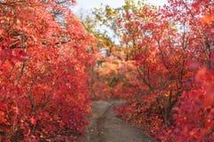 红色灌木和树叶子在美好的秋天停放 免版税库存图片