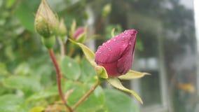 红色灌木玫瑰色芽 免版税库存图片