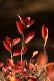 红色灌木秋叶  库存图片