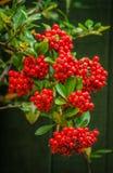 红色火棘Firethorn莓果 库存图片