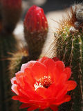 红色火炬仙人掌花和芽 免版税库存照片
