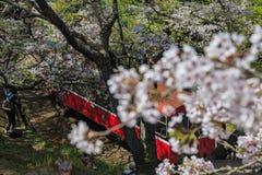 红色火车和樱桃树在全国风景是的阿里山开花 库存照片