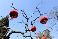 红色灯笼和桃红色垂悬在树的桃子开花 免版税图库摄影
