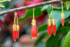 红色灯笼花有模糊的背景 免版税库存照片