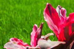 红色热带植物在草背景离开 免版税库存图片