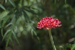 红色热带花 库存图片