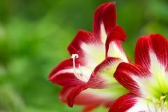 红色热带花 图库摄影