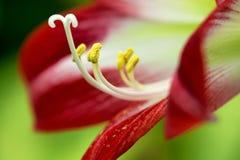 红色热带花 库存照片