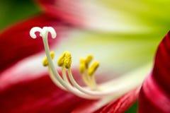 红色热带花 免版税库存照片