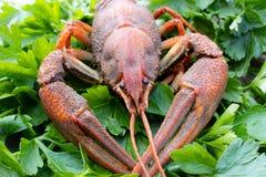 红色煮沸的小龙虾用在板材的草本 免版税库存图片