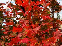 红色爆炸在槭树叶子的 免版税图库摄影