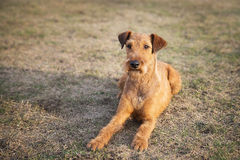 红色爱尔兰狗,可爱友好狗走室外 库存图片