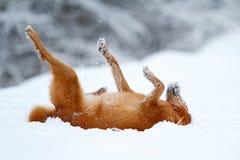 红色爱斯基摩狗 库存照片