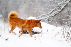 红色爱斯基摩狗 免版税图库摄影