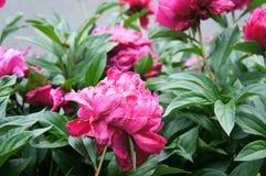 绯红色牡丹在庭院里 免版税库存照片