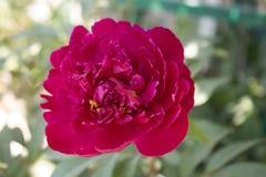 红色牡丹在庭院里 免版税库存图片