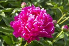 红色牡丹在庭院里 免版税图库摄影