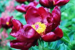 红色牡丹在庭院里 免版税库存照片