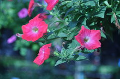 红色牵牛花花在庭院里 库存图片