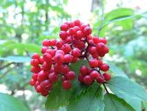 红色狂放的接骨木浆果 图库摄影