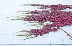 红色狂放的蠕动的藤Ampelopsis上升在木墙壁上的葡萄分支和叶子 库存图片