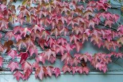 红色狂放的蠕动的藤Ampelopsis上升在木墙壁上的葡萄分支和叶子 库存照片