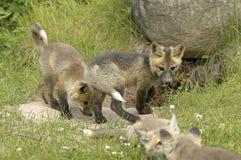 红色狐狸的小狗 库存图片