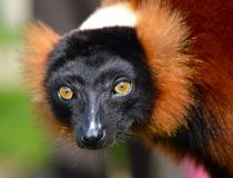 红色狐猴 库存照片