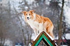 红色狗博德牧羊犬培训在冬天 免版税库存照片