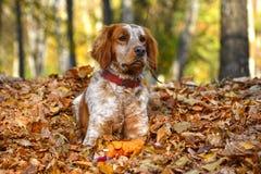 红色狗在叶子在 免版税库存图片
