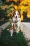红色狗在秋天的穿一条围巾 库存图片