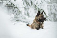 红色狗牧羊人坐雪在冬天森林里 免版税库存图片