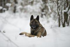 红色狗牧羊人坐雪在冬天森林里 库存照片
