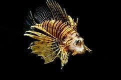 红色狮子(Pterois英里)鱼 图库摄影