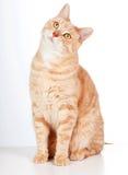 红色猫。 免版税库存照片