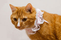 红色猫和新娘的袜带 图库摄影