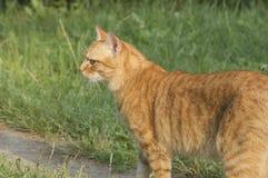 红色猫在公园 免版税库存图片