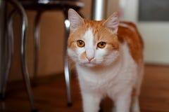 红色猫在厨房里 免版税库存照片