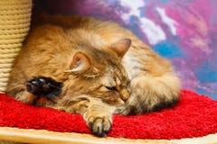 红色猫在家 免版税库存照片