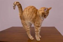红色猫在桌上 免版税库存照片